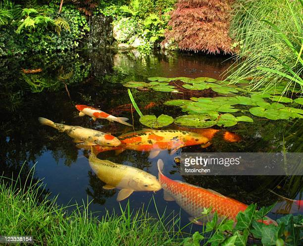Koi carp stock photos and pictures getty images for Japanese garden with koi pond