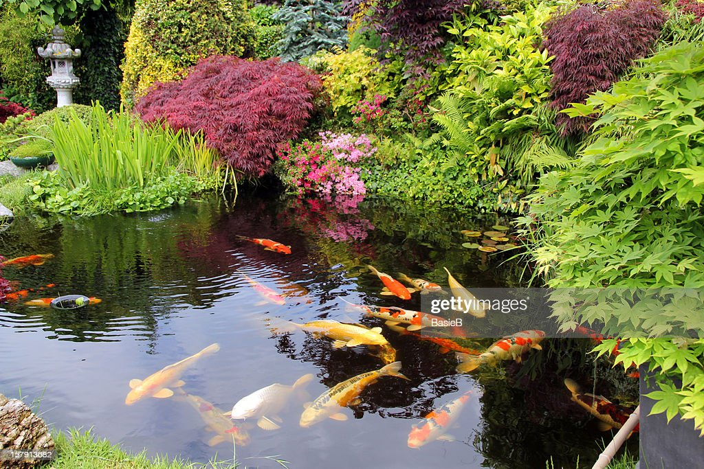 japanese garden with koi fish stock photo