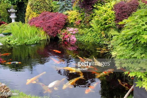 japanese garden with koi fish stock photo getty images