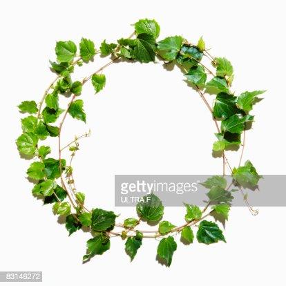 Japanese Ivy : Stock Photo