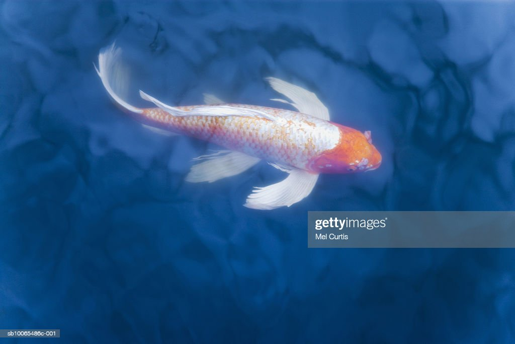 Japanese koi fish in pond, high angle view : Stock Photo