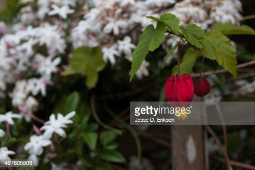 a japanese lantern flower stock photo  getty images, Beautiful flower