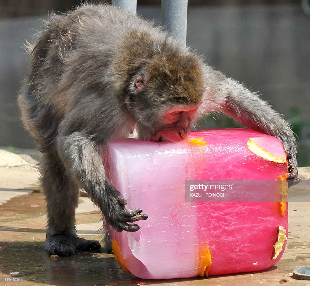 A Japanese macaque bites into a large block of ice containing frozen fruits to help beat the summer heat at the Sendai Yagiyama Zoological Park in Miyagi prefecture on August 14, 2013. A severe heat wave continued to engulf wide areas of Japan on August 14, according to the Japan Meteorological Agency.