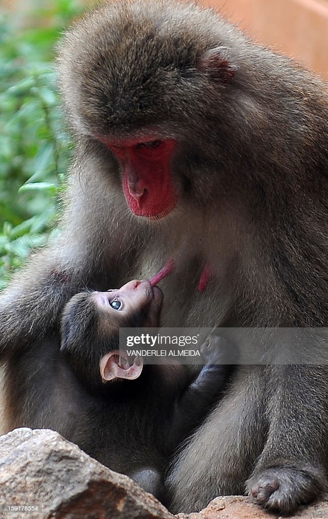 A Japanese macaque (Macaca Fuscata) breastfeeds its baby at the zoo in Rio de Janeiro, on January 9, 2013.
