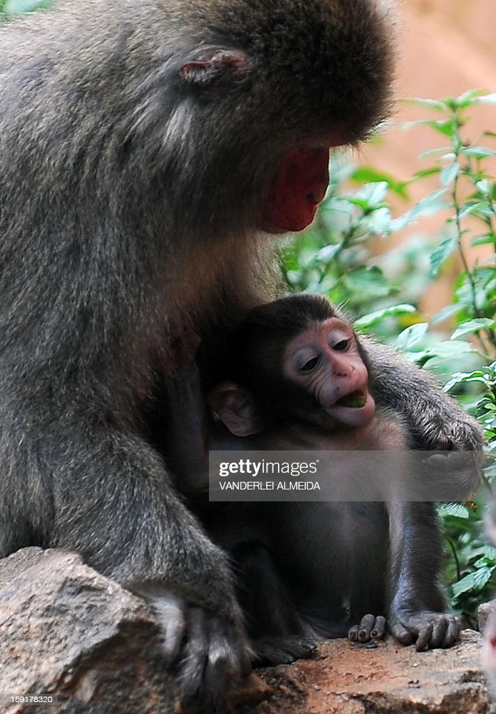 A Japanese macaque (Macaca Fuscata) cares its baby at the zoo in Rio de Janeiro, on January 9, 2013.