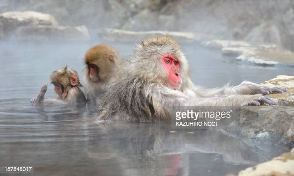 Japanese macaque commonly referred to as 'snow monkeys' take an openair hot spring bath or 'onsen' at the Jigokudani Monkey Park in the town of...