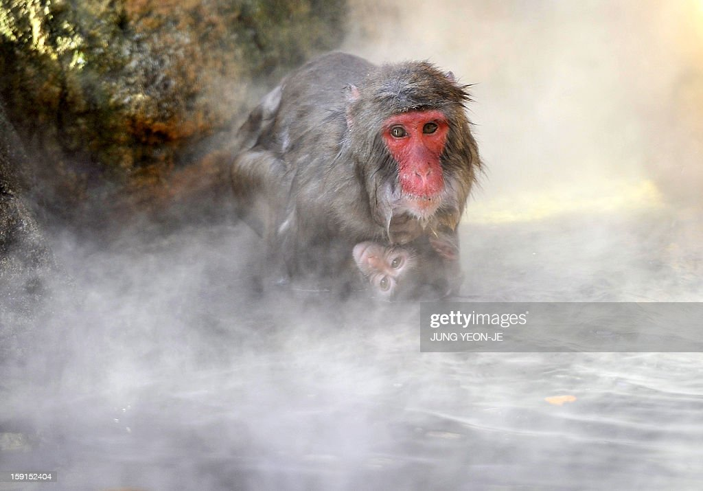 A Japanese macaque enters an open-air hot spring bath set up at the Everland amusement and animal park in Yongin, south of Seoul, on January 9, 2013. Unusually cold weather has ensnared the country for the past week, with the temperature in the capital Seoul hitting minus 11 degrees Celsius (12 F) on January 9.