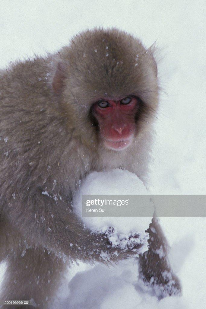 Japanese macaque (Macaca fuscata) holding snowball, close-up