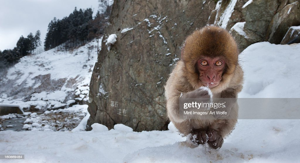 Japanese macaque, Honshu Island, Japan : Stock Photo