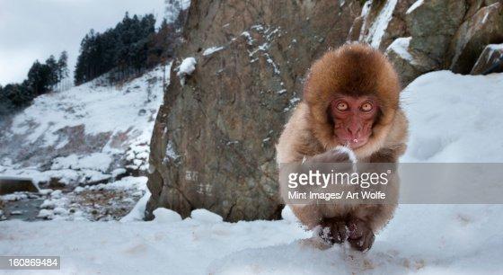 Japanese macaque, Honshu Island, Japan : Stock Photo