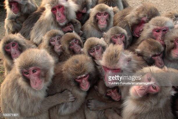 Japanese macaque (Macaca fuscata) huddled together