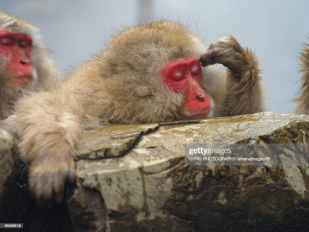 Japanese macaque (Macaca fuscata) in hot spring, Nagano Prefecture, Japan : Stock Photo