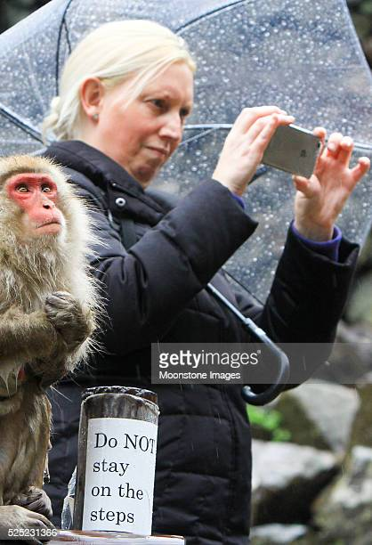 Japanese Macaque in Jigokudani Monkey Park, Japan