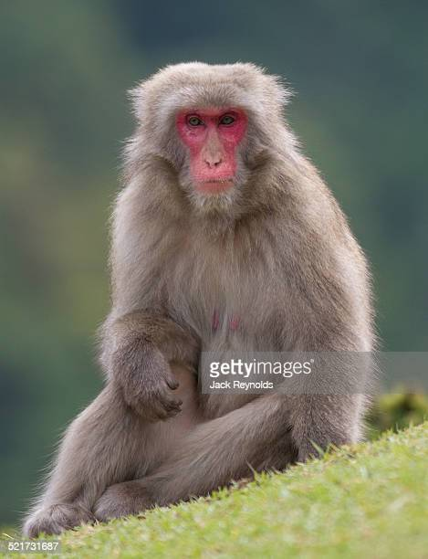 Japanese Macaque in Kyoto