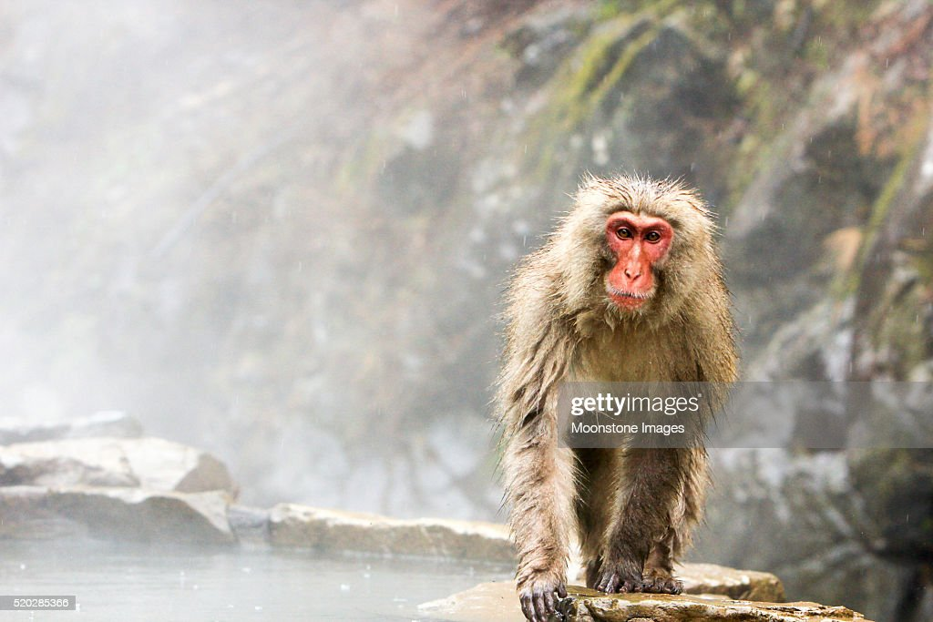 Japanese Macaque in Yamanouchi, Japan