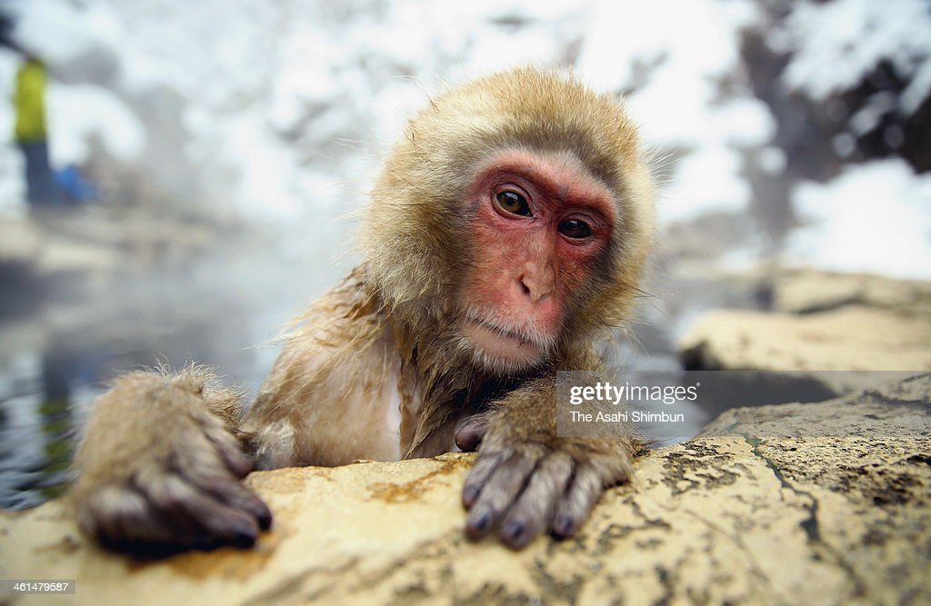 A Japanese Macaque monkey relaxes in a hot spring at the Jigokudani, or Hell's Valley Monkey Park on January 8, 2014 in Yamanouchi, Nagano, Japan.