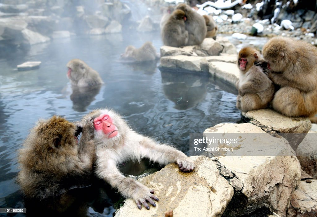 Japanese Macaque monkeys groom each other and relax in a hot spring at the Jigokudani, or Hell's Valley Monkey Park on January 8, 2014 in Yamanouchi, Nagano, Japan.