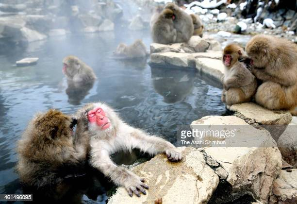 Japanese Macaque monkeys groom each other and relax in a hot spring at the Jigokudani or Hell's Valley Monkey Park on January 8 2014 in Yamanouchi...