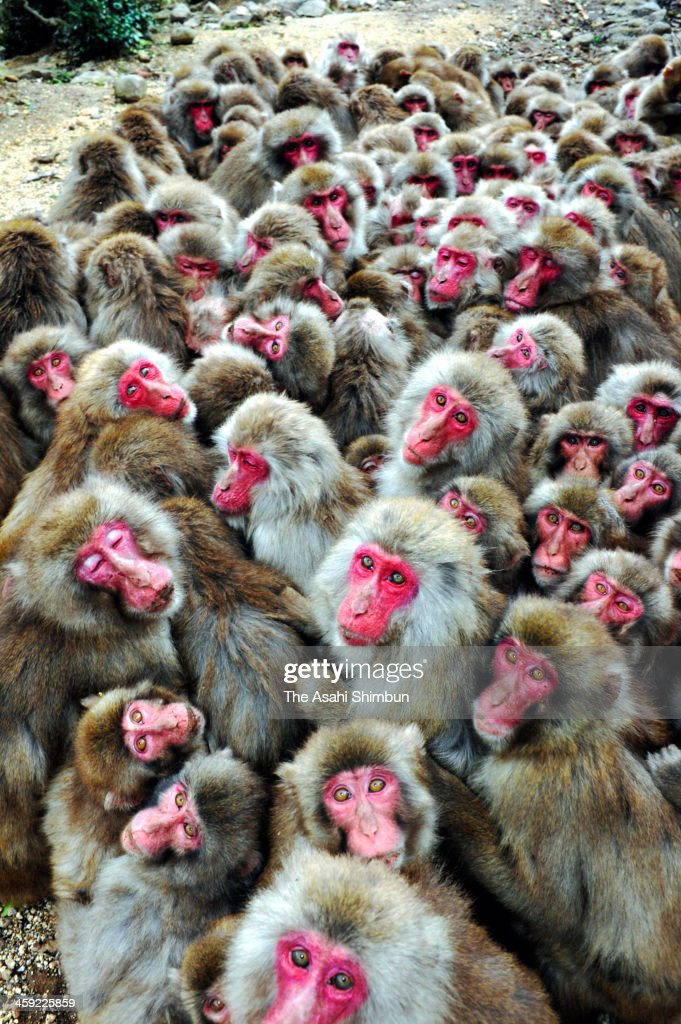 Japanese macaque monkeys huddle together in a group to protect themselves against the cold weather at Osaru-no-kuni on December 21, 2013 in Tonosho, Kagawa, Japan.