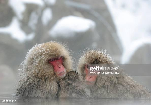 Japanese macaque monkeys known as 'snow monkeys' take an openair hot spring bath at the Jigokudani Monkey Park in the town of Yamanouchi Nagano...