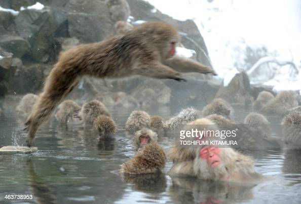 Japanese macaque monkeys known as 'snow monkeys' take an openair hot spring bath as snowflakes fall at the Jigokudani Monkey Park in the town of...