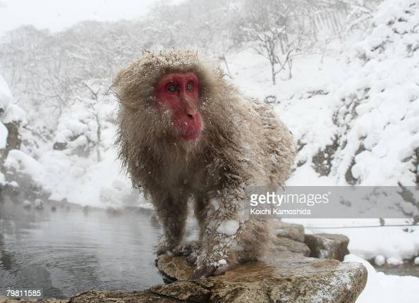 Japanese Macaque monkeys relax in the hot spring at the Jigokudani Monkey Park on February 17 2008 in Jigokudani Nagano Japan This Macaque troop...