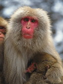 Japanese macaque nursing her baby, Jigokudani Hot Spring, Nagano Prefecture, Japan