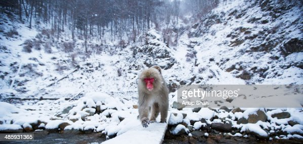 Japanese Macaque or Snow Monkey crossing a river