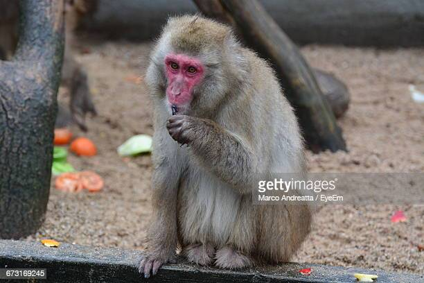 Japanese Macaque Sitting At Beach