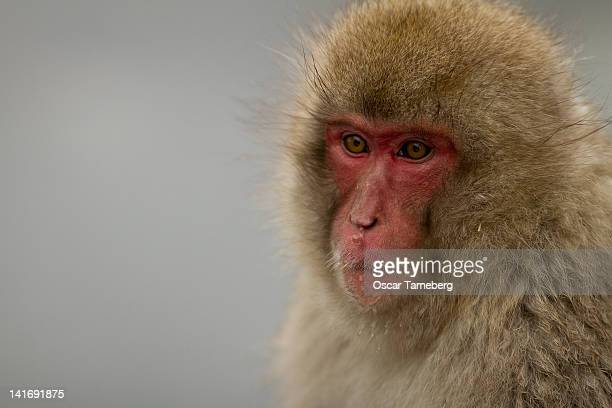 Japanese macaque 'snow monkey'