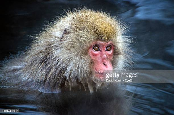 Japanese Macaque Swimming In Lake