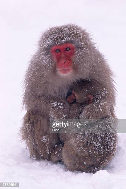 Japanese Macaque with Baby in Snow