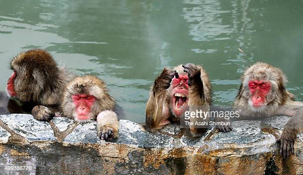 Japanese macaques are relaxed in hot spring at Hakodate Tropical Botanical Garden on December 1 2015 in Hakodate Hokkaido Japan The garden offers the...