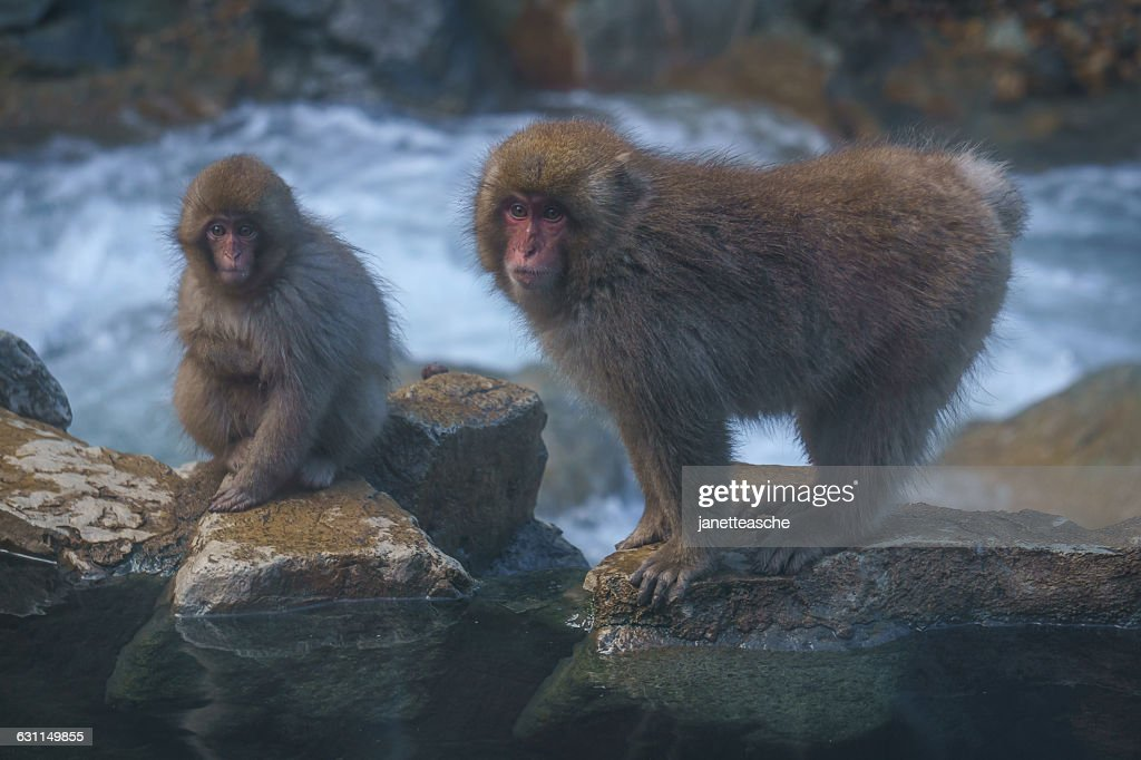 Japanese macaques by Yokoyu river, Jigokudani Monkey Park, Nagano, Japan