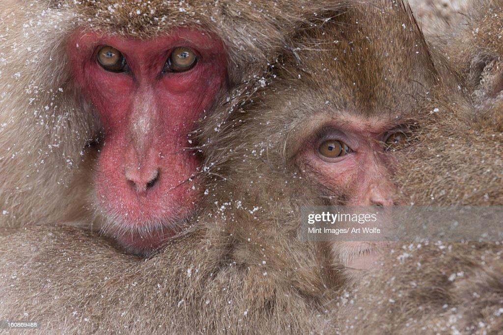 Japanese macaques, Honshu Island, Japan : Stock Photo