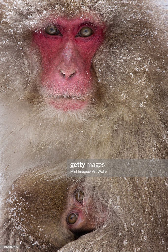 Japanese Macaques, Japanese Alps, Honshu Island, Japan : Stock Photo