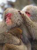 Japanese macaques (macaca fuscata) monkeys grooming, Nagano Prefecture, Honshu, Japan