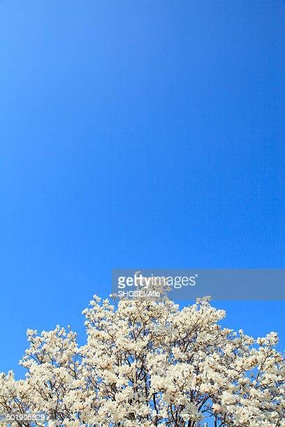 Japanese Magnolia and sky
