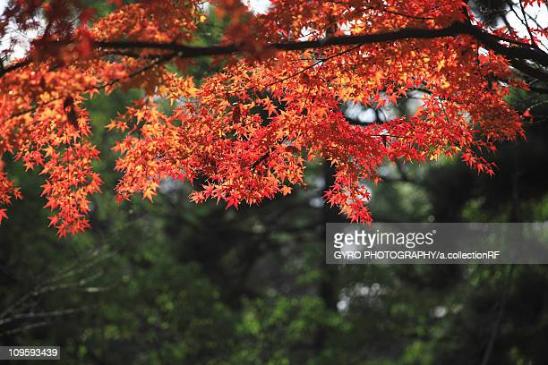 Japanese maple in autumn, Kyoto Prefecture, Honshu, Japan