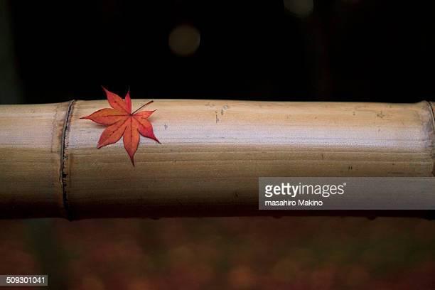 Japanese Maple Leaf on Rail