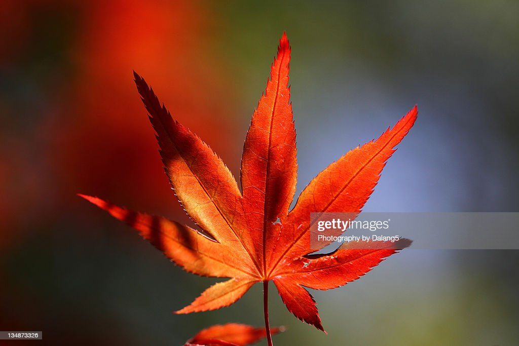Japanese maple leaf : Stock Photo