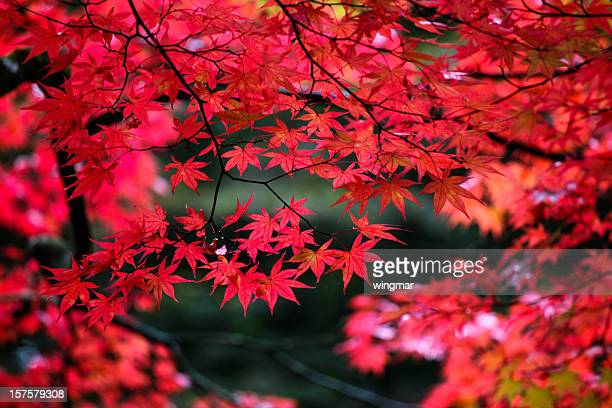 Japanese maple leaves in autumn