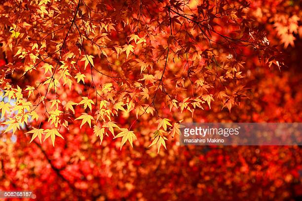 Japanese Maple Leaves in the Sun