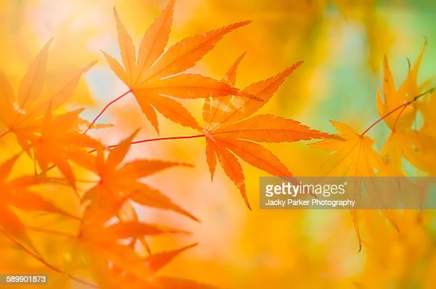 Japanese maple leaves
