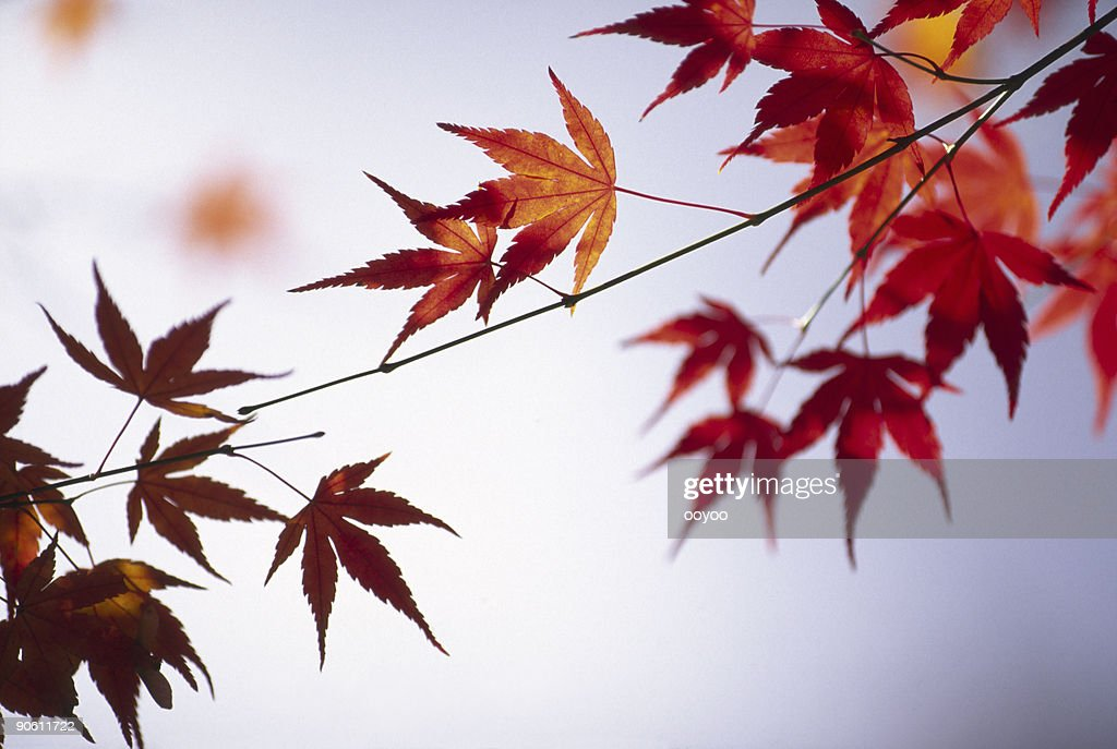 Japanese maple leaves stock photo getty images Japanese maple leaf