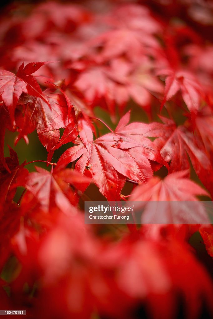 Japanese maple leaves turn an autumnal red at Tatton Park on October 21, 2013 in Knutsford, United Kingdom. The mild weather in the United Kingdom has delayed Autumn by up to two weeks according to statistics by The Woodland Trust. Members of the public have submitted their observations to the trust's Nature's Calendar which shows that the traditional Autumn tints are finally appearing on ash, elder, oak and horse chestnut.