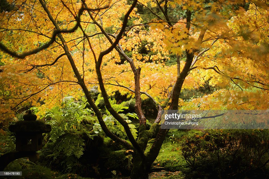 Japanese maple leaves turn an autumnal yellow at Tatton Park on October 21, 2013 in Knutsford, United Kingdom. The mild weather in the United Kingdom has delayed Autumn by up to two weeks according to statistics by The Woodland Trust. Members of the public have submitted their observations to the trust's Nature's Calendar which shows that the traditional Autumn tints are finally appearing on ash, elder, oak and horse chestnut.