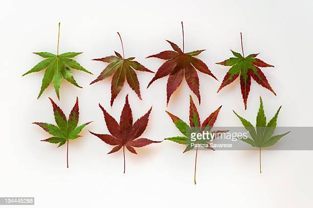 Japanese maple leaves turning from green to red