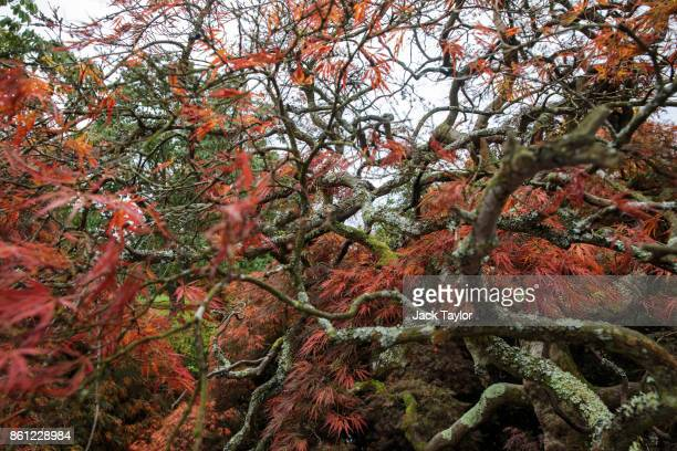 Japanese Maple tree grows at Wakehurst 30 years after The Great Storm devastated much of the botanic garden's landscape on October 14 2017 in...