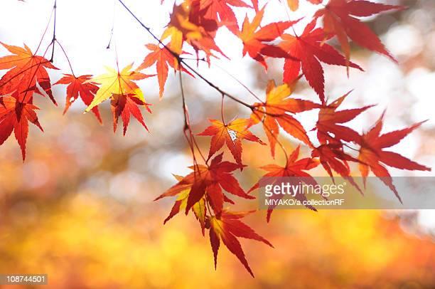 Japanese maple tree in autumn, Kyoto Prefecture, Honshu, Japan
